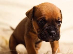animal-bulldog-dog-616-742x550