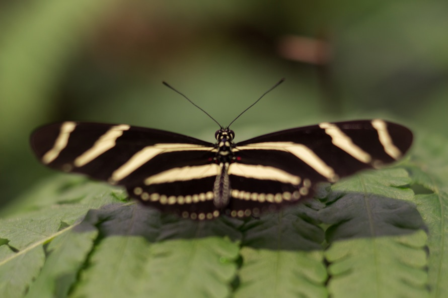 animals-butterfly-blackandwhite-large